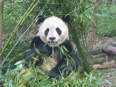 Chengdu: Panda bear